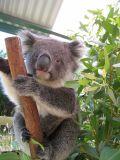 Koko le koala…